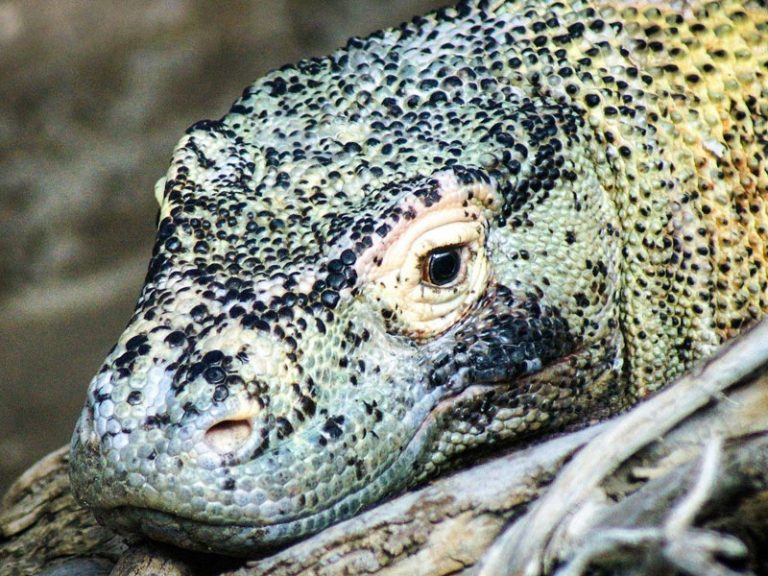 The 7 Most Dangerous Animals in Indonesia: Beware of the Dragon!
