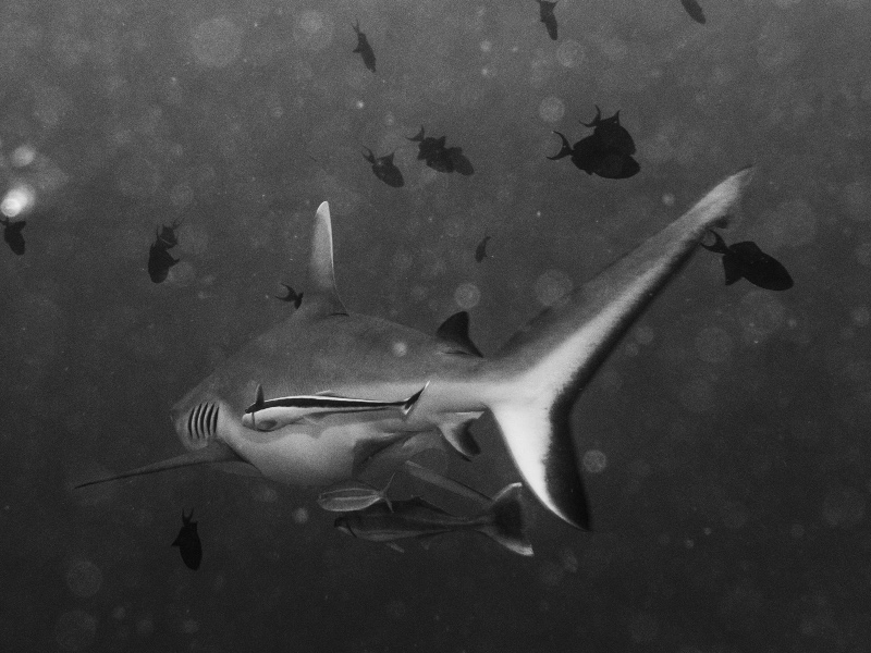 The oceanic whitetip shark is one of the most dangerous animals in El Salvador