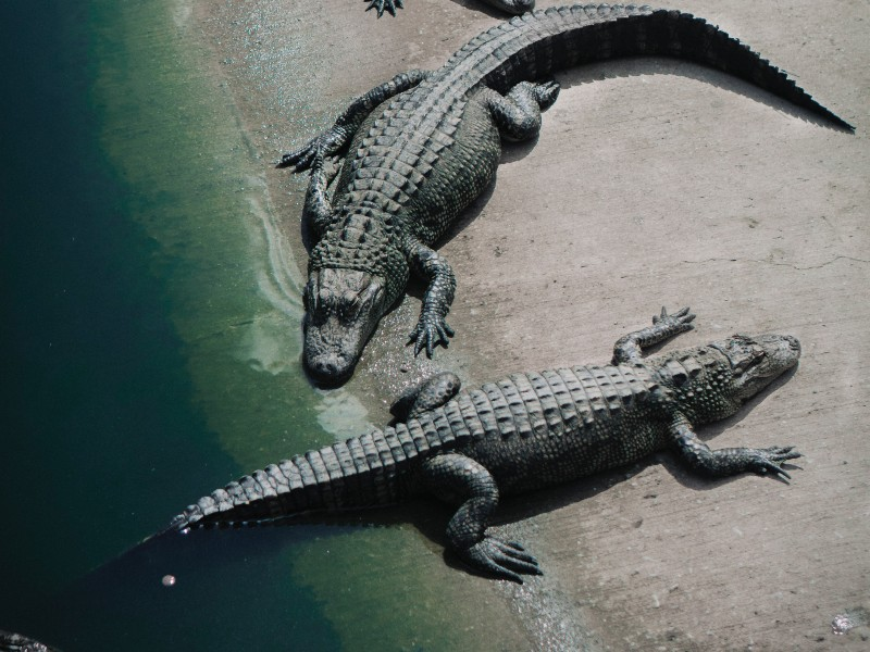 The American Crocodile, though rare, is one of the most dangerous animals in El Salvador