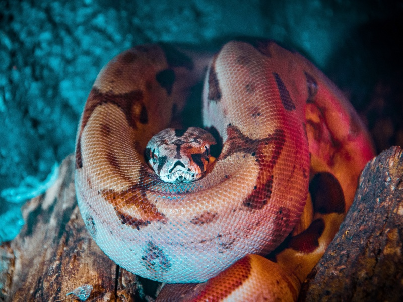 Contrary to popular belief, the Boa Constrictor does not suffocate its prey