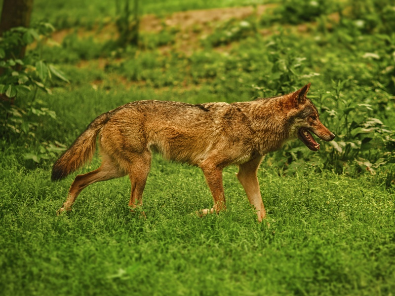 Coyotes have been known to kill household pets and even children