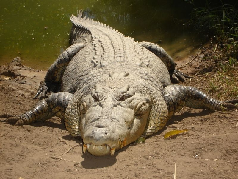 The saltwater crocodile is responsible for 1000 human deaths a year.