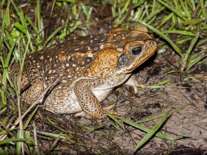 The Cane toad is not venomous but poisonous. it is deadly to predators if eaten.