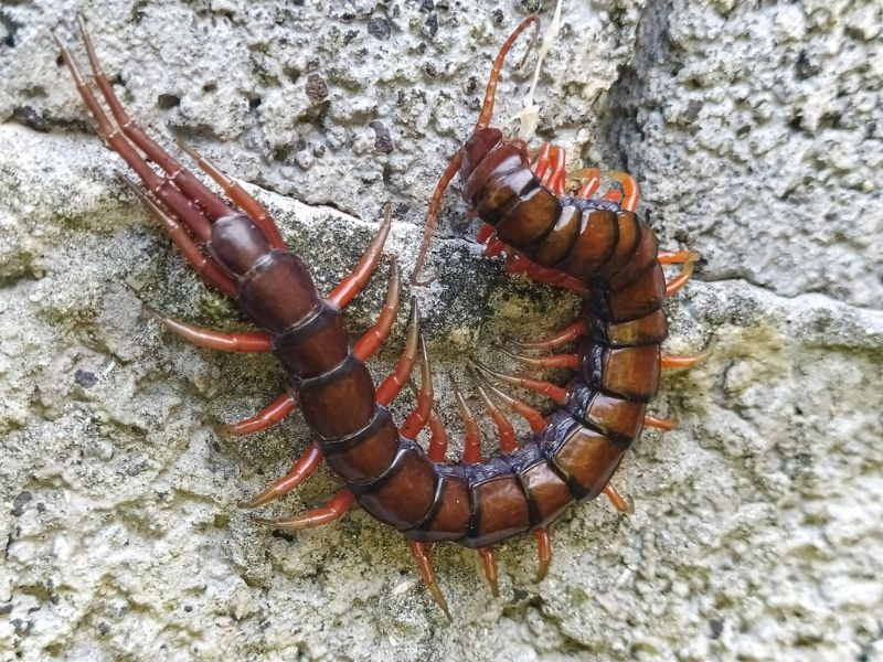 The centipedes of fiji can grow over a foot long and give a very painful bite.