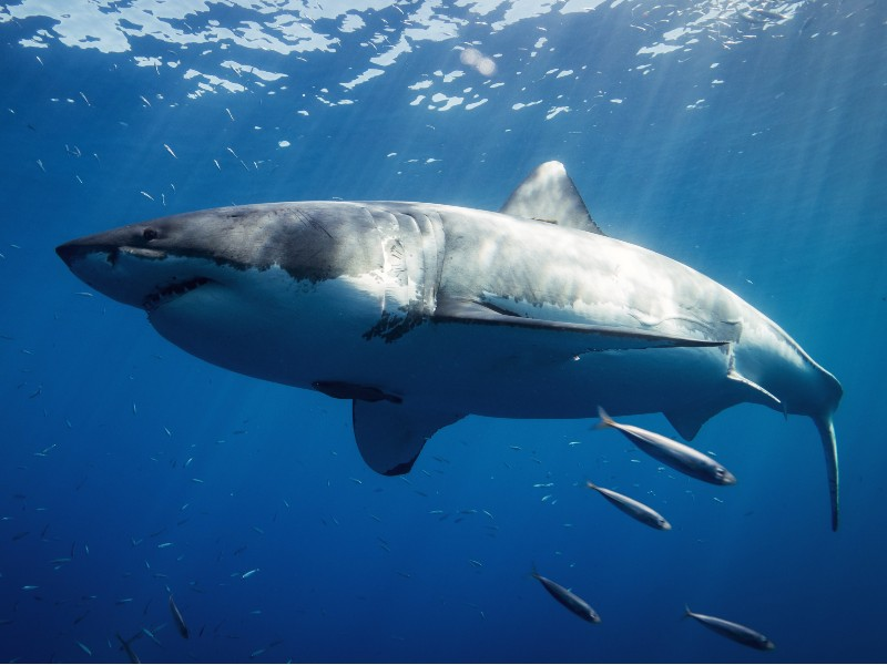 While rare, great white sharks are among the most dangerous animals in Hawaii