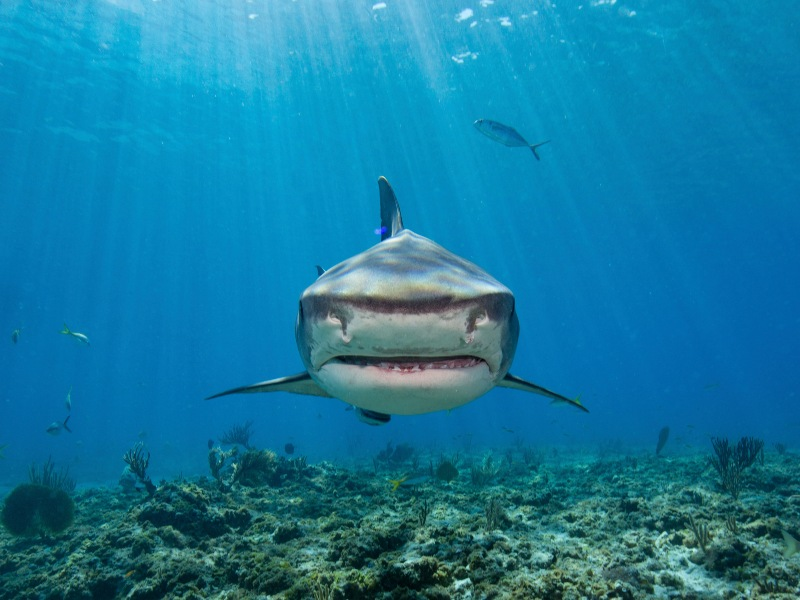 Tiger sharks are one of the most dangerous species of shark found in Hawaii