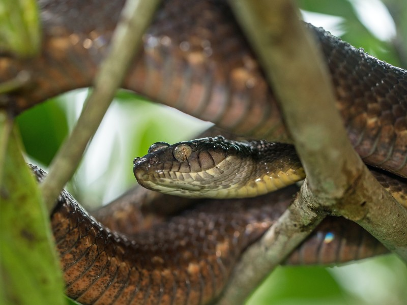 The brown tree snake was probably introduced to Hawaii from Guam
