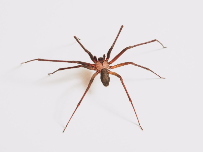 The brown recluse spider is one of the only species of venomous spider in Hawaii